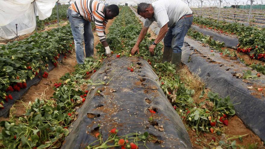 Freseros desmantelan plantaciones y clasuran la campaña antes que seguir perdiendo dinero