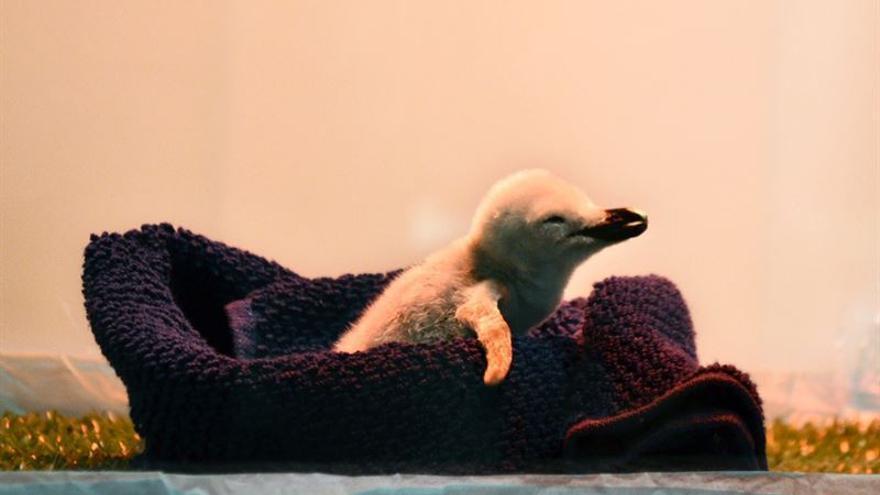 El pingüino pesó 77 gramos al nacer tras una fase de incubación de 38 días / Foto cedida
