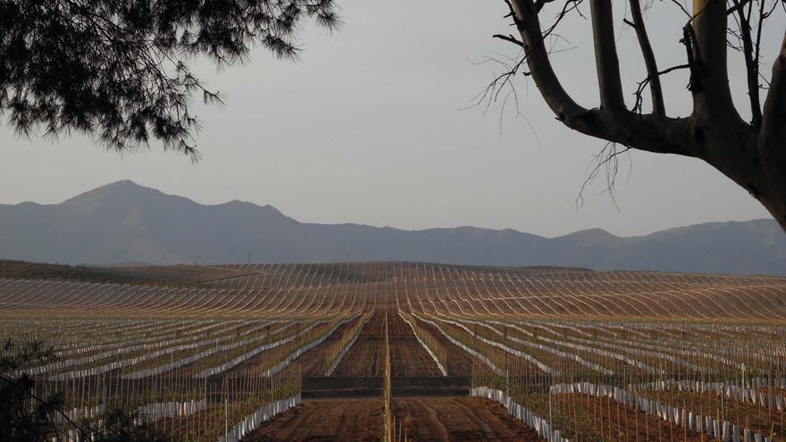 Plantación de olivos en Tabernas