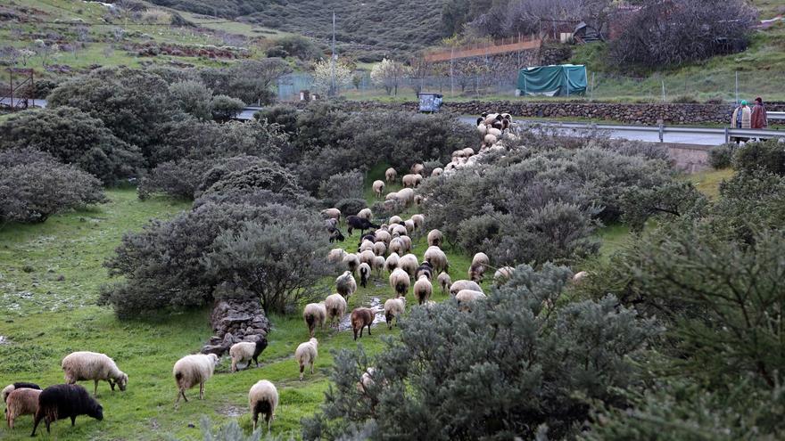 Rebaño de ovejas en la Caldera de Los Marteles