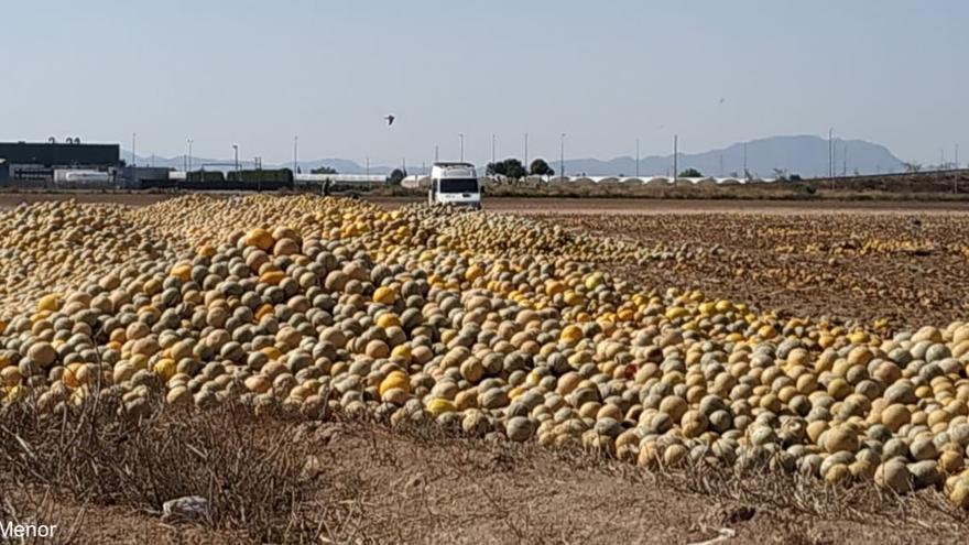 Melones abandonados en Torre Pacheco (Murcia)
