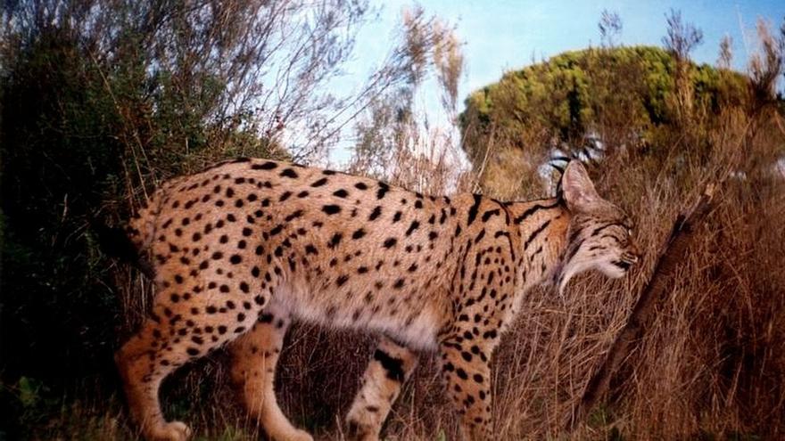 Portugal libera dos ejemplares de lince procedentes del programa de cría en cautividad coordinado por la Junta