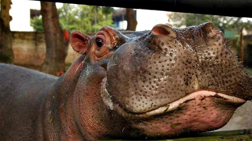 El hipopótamo Gustavito mirando a la cámara. (CA).