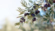 Castilla-La Mancha insiste en pedir una ayuda para el olivar de bajo rendimiento en la nueva PAC