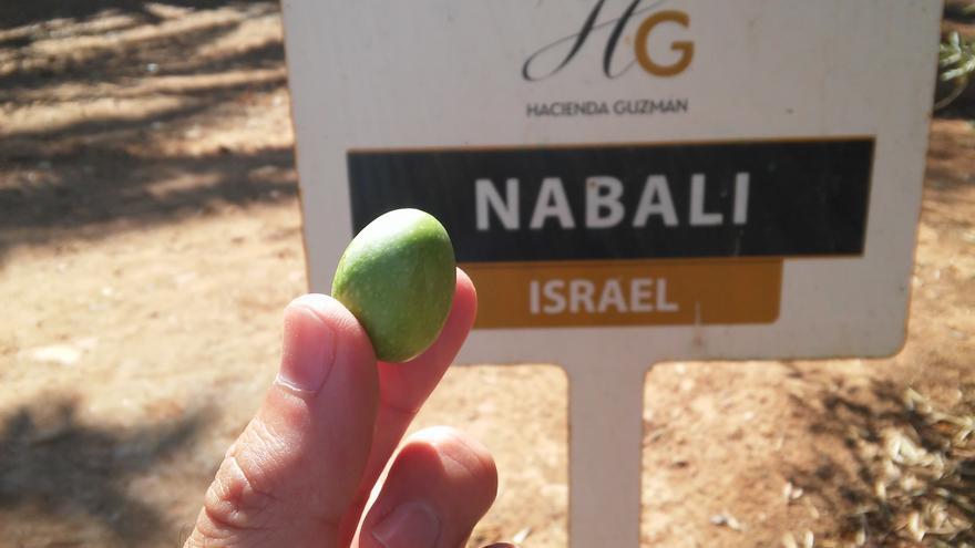Variedad de olivo nabali procedente de Israel