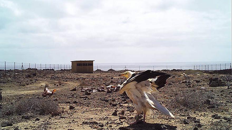 Instalado un muladar en Lanzarote en un intento de recuperar la población de guirre.