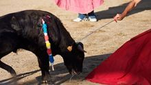 Más de 1.800 firmas en La Manchuela contra los festejos con maltrato animal