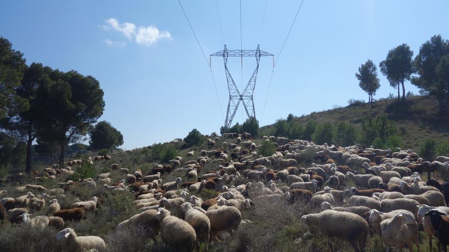 Pastoreo para mantenimiento de la cobertura herbácea en las calles de la Red de Trasporte de Energía Eléctrica. Proyecto en que la UAH ha colaborado con Red Eléctrica de España. Los Agudos (Calahorra, La Rioja)