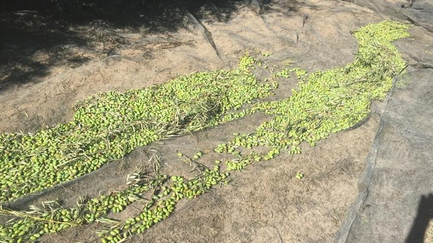 Organizaciones agrarias sitúan entre un 80 y un 90 por ciento la campaña de recogida de aceituna en la provincia