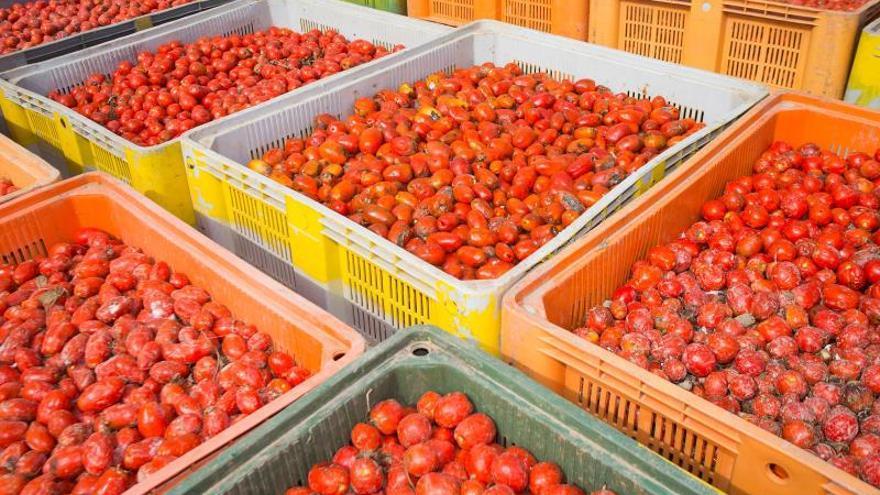 """Los 145.000 kilos de """"munición"""" de La Tomatina salen este martes hacia Buñol"""
