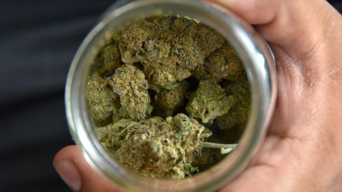 Una persona muestra un recipiente con marihuana.