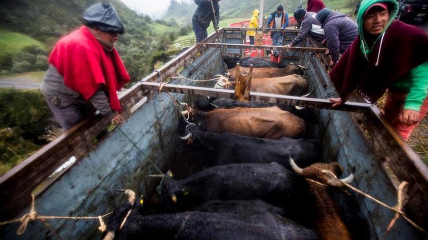 """Una """"Pamplonada"""" cierra la fiesta en Píllaro, ciudad de """"diablos"""" en Ecuador"""
