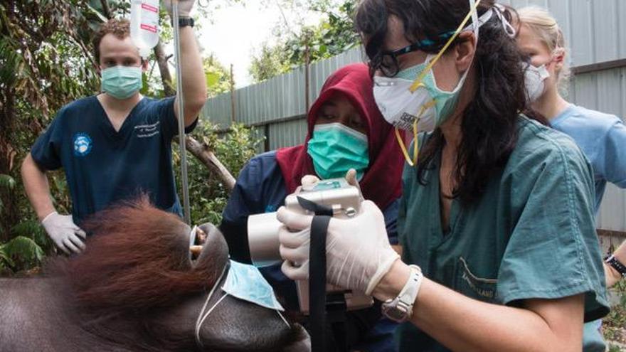 La doctora Llano haciendo un reconocimiento médico a uno de los orangutanes rescatados.
