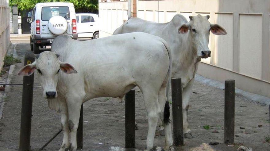 El Gobierno indio estudia crear refugios para vacas abandonadas