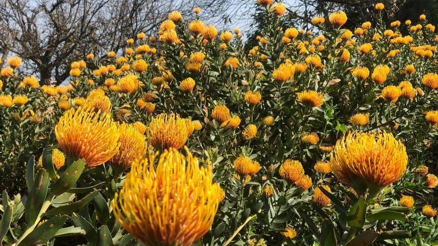 Cultivo de proteas en flor en Las Lomadas (San Andrés y Sauces).