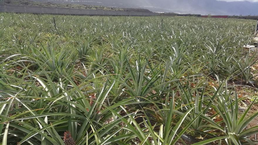 Plantación de piñas en El Hierro