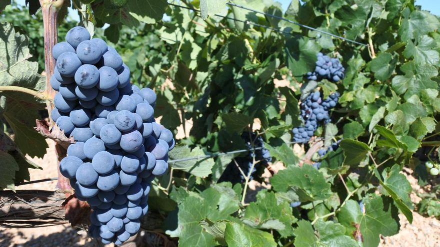 Viñas de uva tinta de Castilla-La Mancha