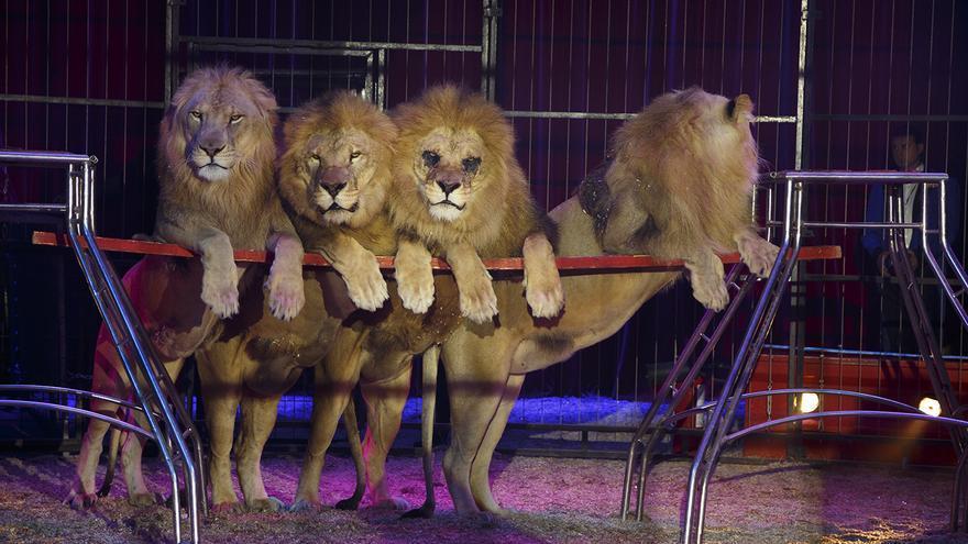 Leones obligados a actuar en el Circo Mundial, en 2014. Foto: Tras los Muros