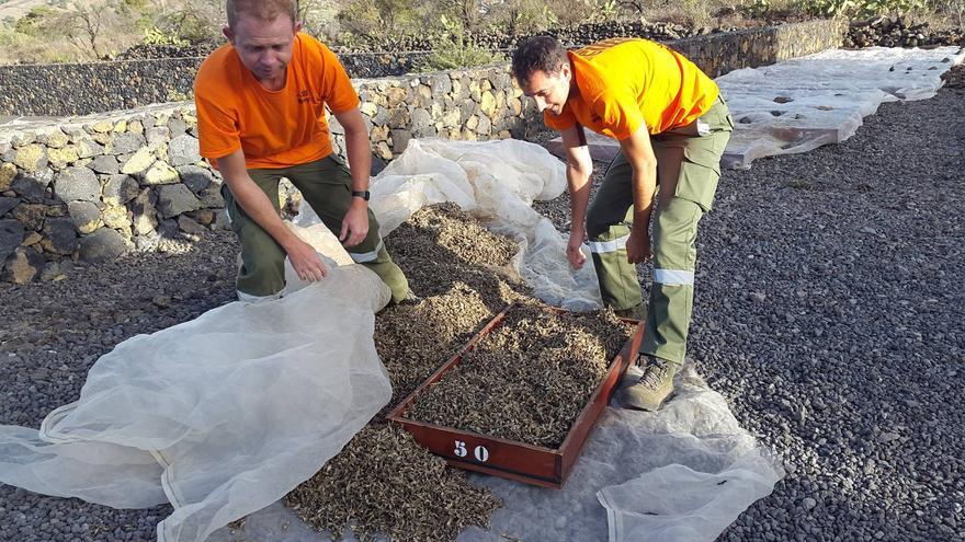 Una vez ha pasado el período de secado de las semillas en el exterior del Centro de Visitantes de La Caldera, empieza el tratamiento de la limpieza. Foto: PARQUE NACIONAL