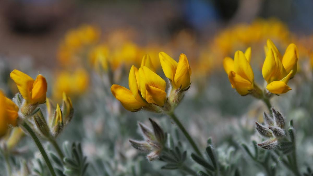 Corazoncillo del pinar (Lotus holosericeus), una de las especies que alberga el paseo botánico de La Aldea.