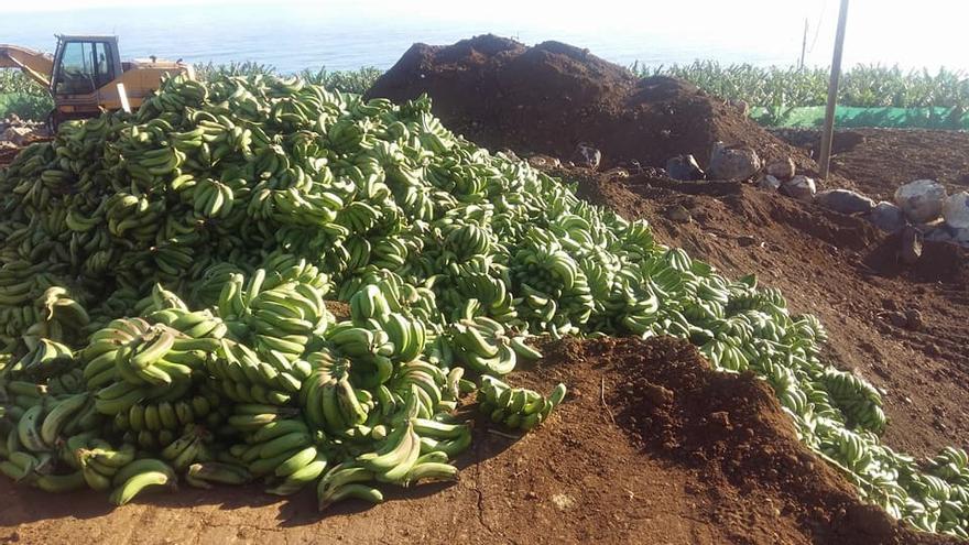 Residuo agrícola no peligroso, manillas de plátanos, que se tira en el campo palmero