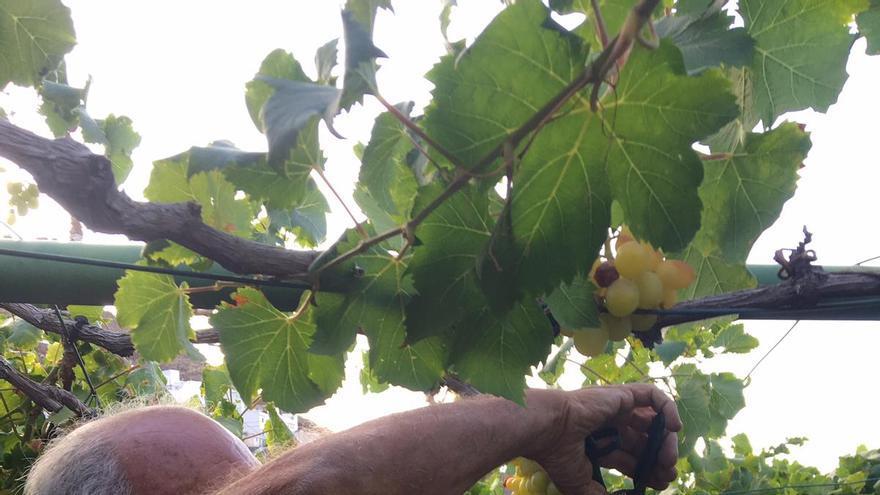 Recolección de uvas.