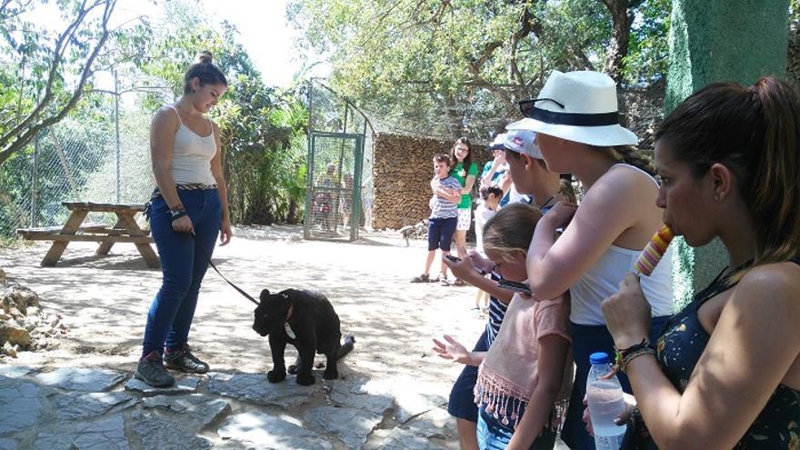 Los visitantes pueden tocar una pantera en el Zoo de Castellar.