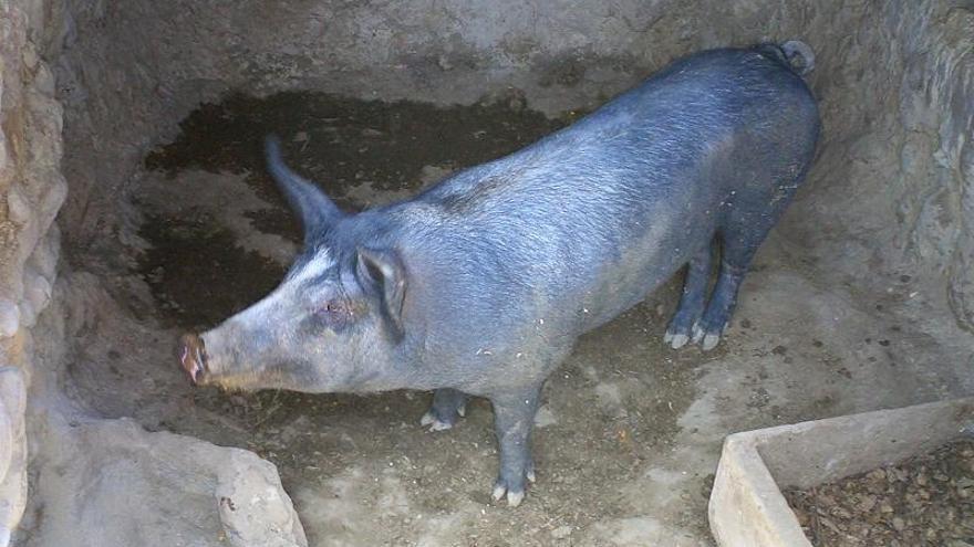 El Gobierno aprueba nuevas disposiciones para adaptar las explotaciones a la norma sobre proteción de cerdos