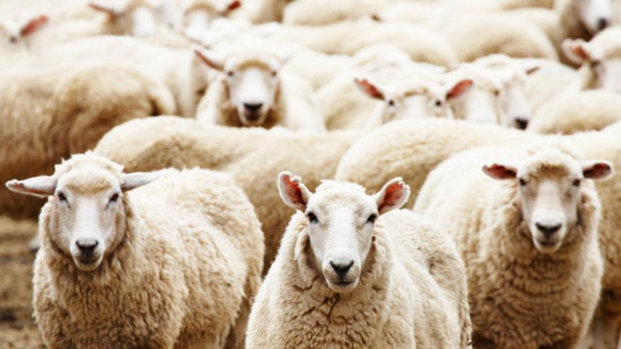 Que viene el lobo… ¿o son perros asilvestrados?: ganaderos y Gobierno de Aragón discrepan sobre el origen de los últimos ataques a ovejas