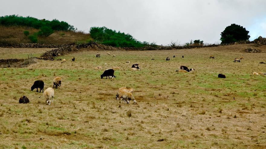 Ovejas en los prados de Nisdafe, en El Hierro. VIAJAR AHORA