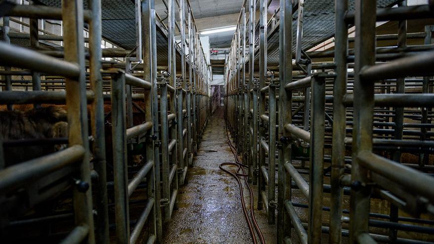 Corrales en un matadero de vacas. La puerta que se encuentra al final del pasillo conecta con el cajón de aturdimiento.
