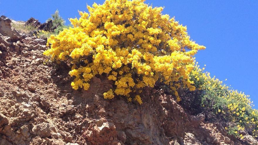 Las retamas de las cumbres de La Palma chorrean belleza a raudales. Foto: ÁNGEL PALOMARES.