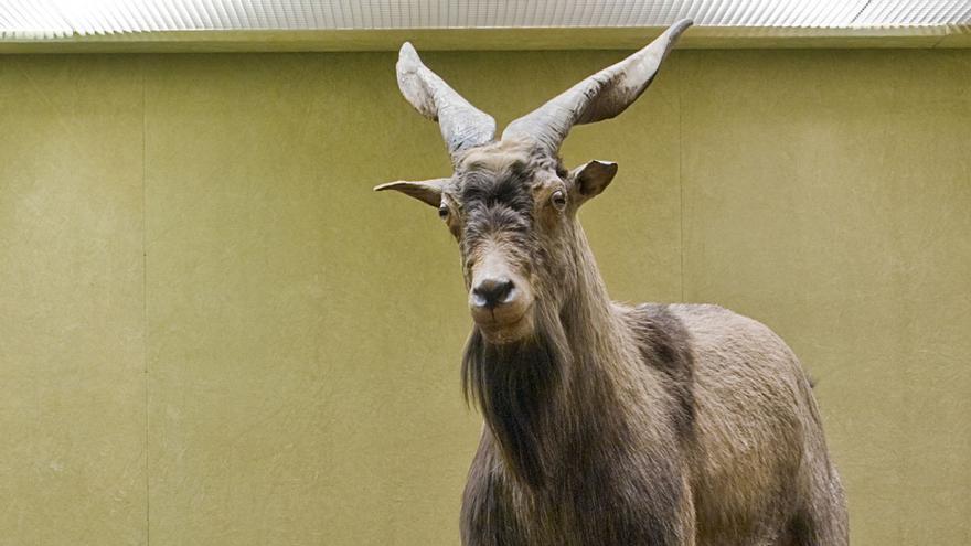 Cabras salvajes en el Museo Canario.