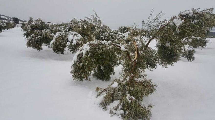 Campo de olivos afectados por el temporal de nieve en València