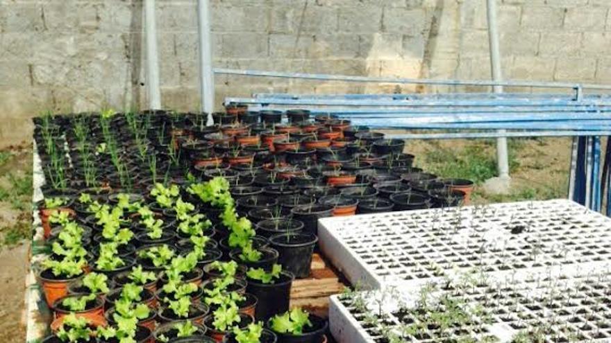 Algunas plantas del vivero municipal sostenible de Tazacorte.