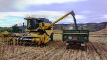 La cosecha de girasol será un 50 por ciento menor debido a la falta de agua en primavera