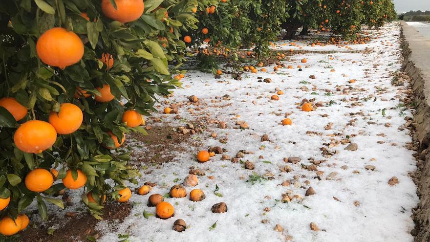 Campos de cítricos de Tavernes de la Valldigna afectados por el granizo