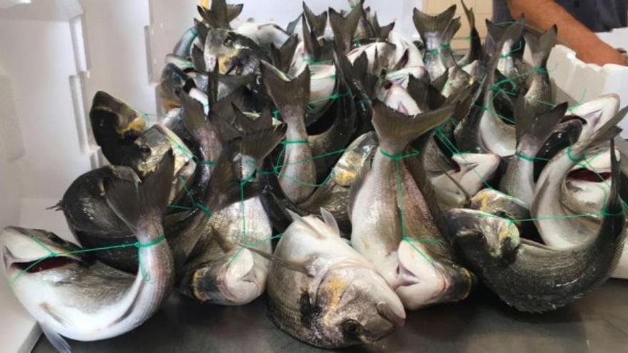 Doradas atadas vivas. Investigación realizada por la organización italiana Essere Animali, que documentó el sufrimiento extremo de los peces.