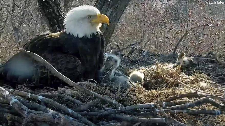 Águila calva webcam