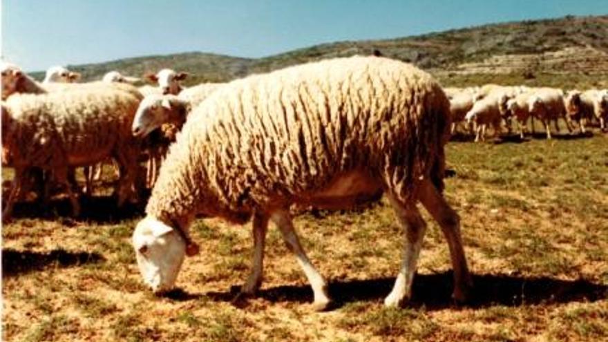 Raza ovina alcarreña