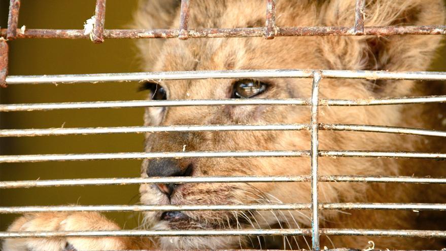 Leona en una jaula del Circo Americano. Foto: Libera!