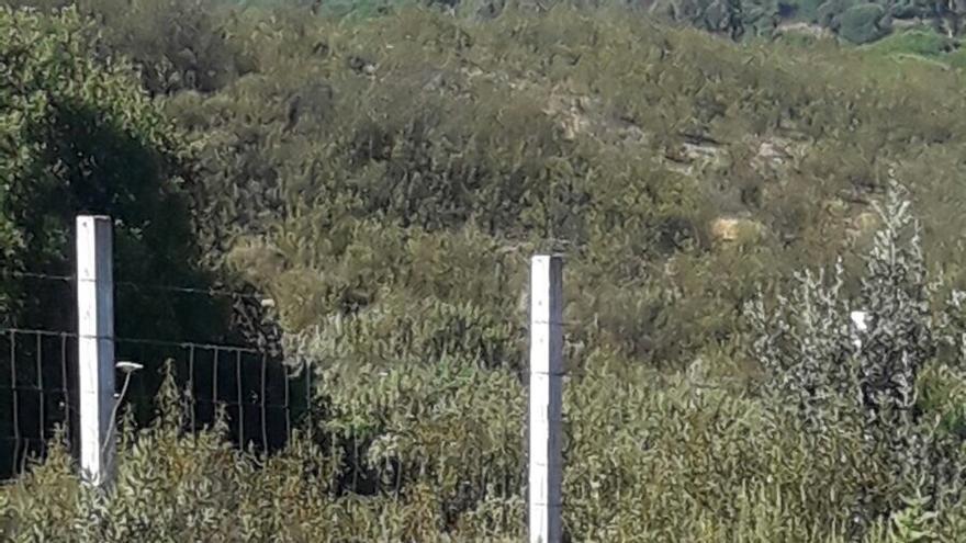 Polvorín, recuperado en Santuario La Candela tras ser torturado con fuego en Medinaceli durante el festejo 'Toro Jubilo'