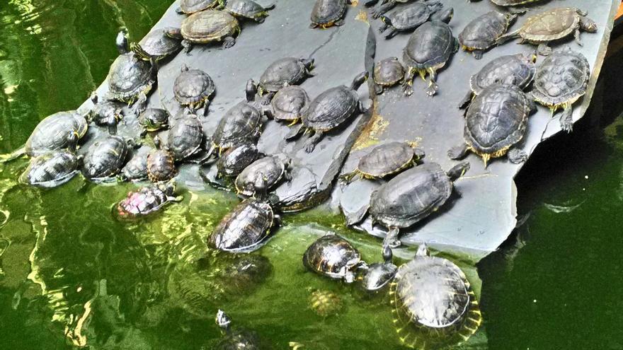Tortugas abandonadas en el estanque de la estación de Atocha malviven hacinadas y enfermas. Foto: © Daniel García