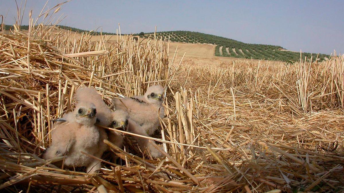 Polluelos de aguilucho cenizo.