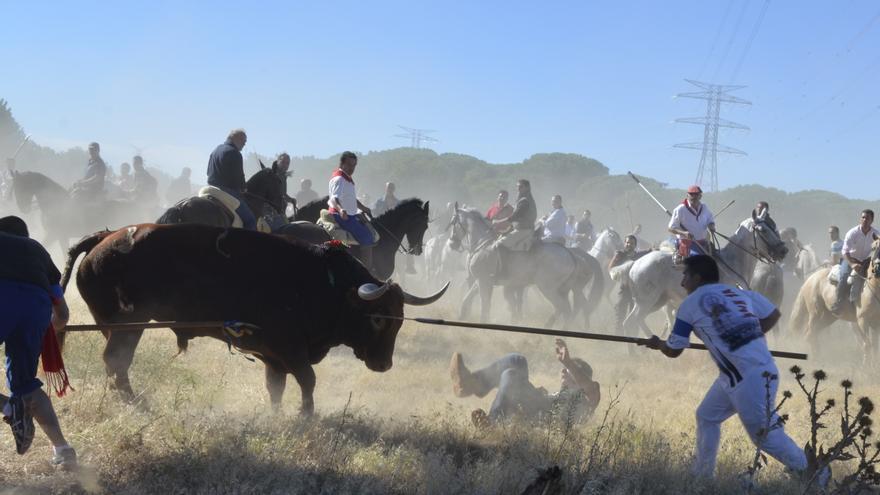 Celebración del torneo del Toro de la Vega en Tordesillas 2013