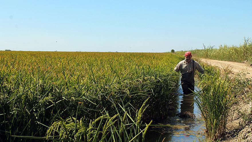 'Procambarus clarkii' encontró un hábitat perfecto en los arrozales sevillanos. / JUAN MIGUEL BAQUERO