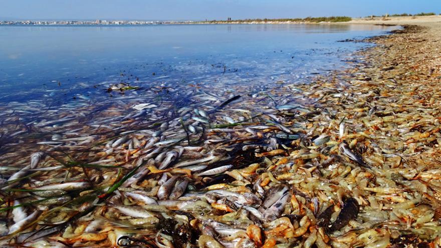 Peces y crustáceos muertos en el Mar Menor.