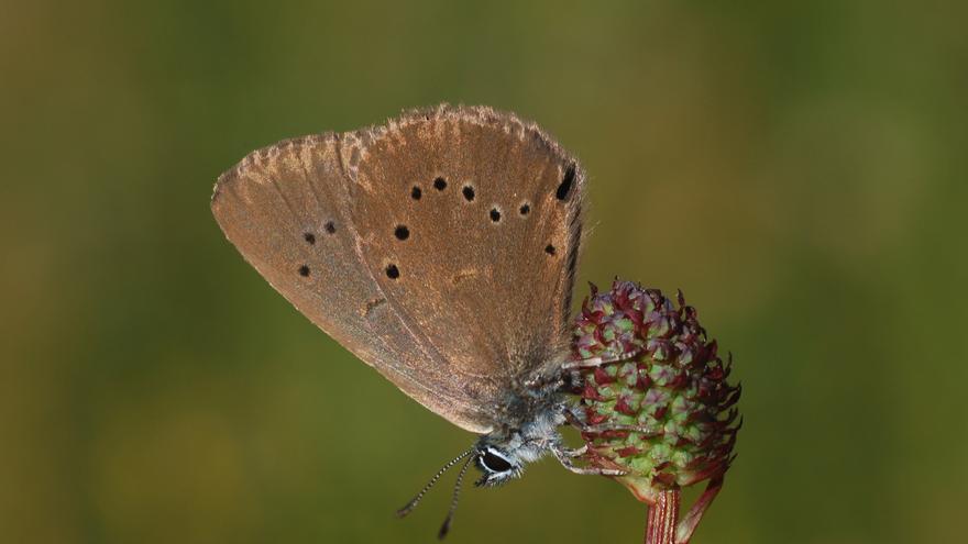 Phengaris nausithous (macho)