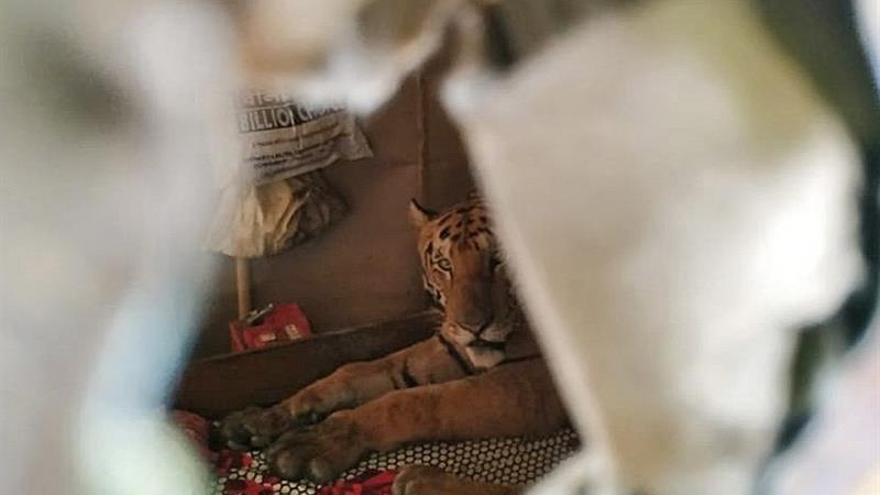 Inundaciones obligan a un tigre a invadir una casa en el noreste de la India