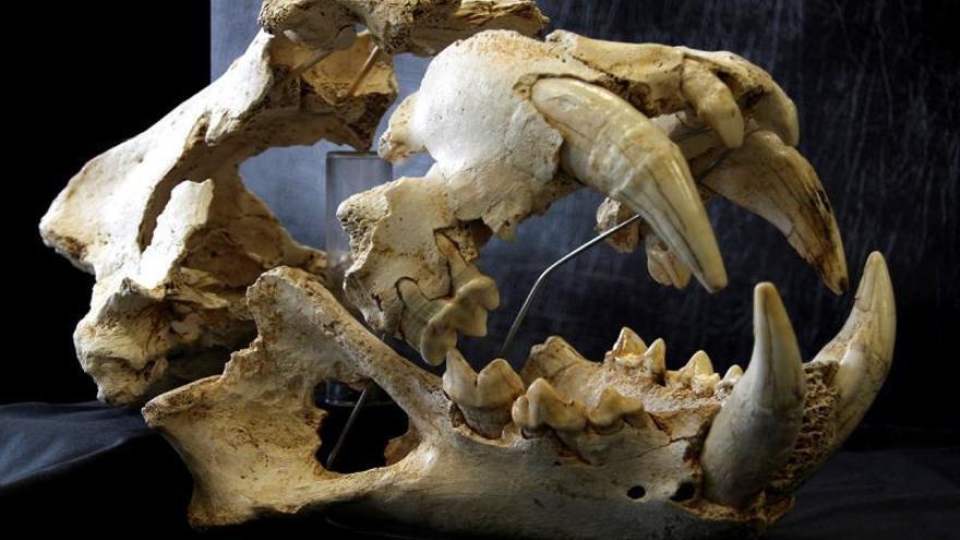 El león del Paleolítico hallado en Llanes era más robusto que los actuales